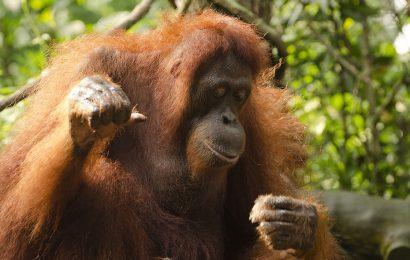 Boxe de orangotangos – João Paulo Hergesel